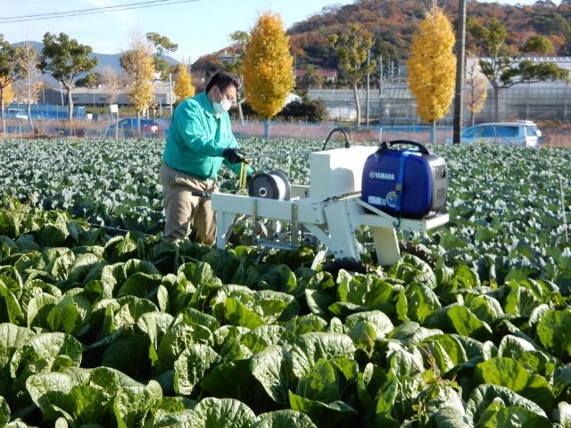 つらい作業を解消 農研機構がハクサイ頭部結束機開発