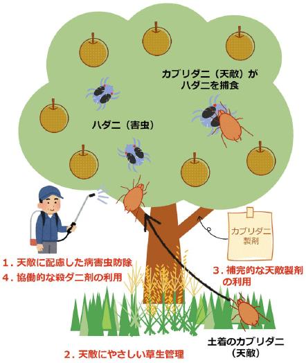 ハダニ防除にW天敵 リンゴ・ナシの手順書公開 ~農研機構~